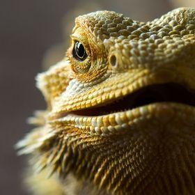 T Bearded Dragon
