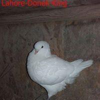 Lahore Donek