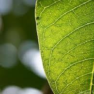 Healing Leaf