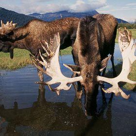 Dolly Varden Alaska