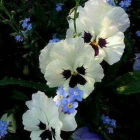 Pansy Of The Winds