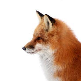 The Treasure Fox