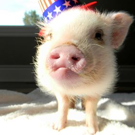 Life With a Mini Pig