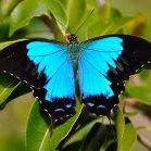 Papillon Dunjour
