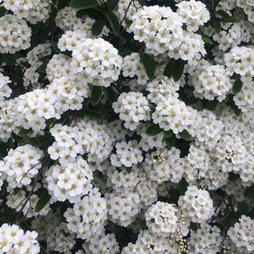 ollyflower