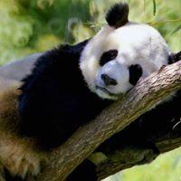 Panda Tóth