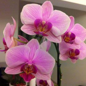 Phalaenopsis !
