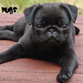 I Luv All Pugs