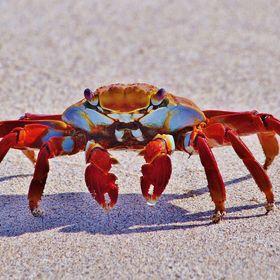 Nordsee Krabbe