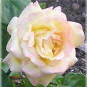Pretty Northwest Rose