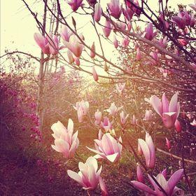 magnoliacea guatemalensis