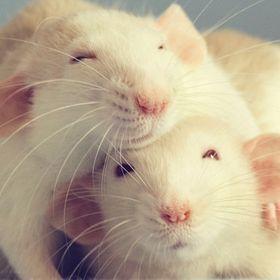 Rats Make Me Happy