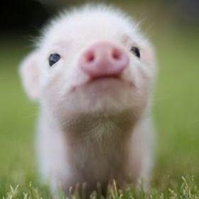 腹ぺこブタ君(a hungry piggy) Japan
