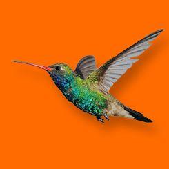 Kolibrie Ontwerp