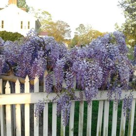 Wisteria Perry