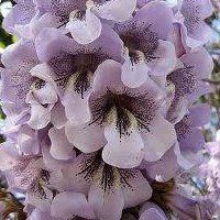Paulownia paulowniaplante