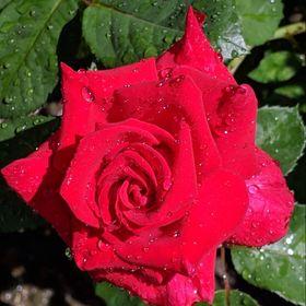 Rose Langlands
