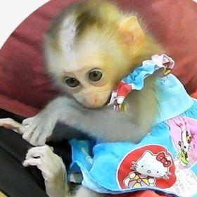 Monkey LYLY