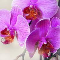 Orchidea Orchidea