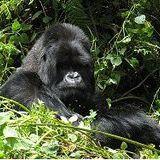 Mountain Gorilla Conservation Fund