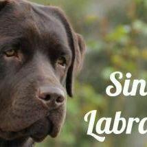 Allevamento Sindia's Labradors