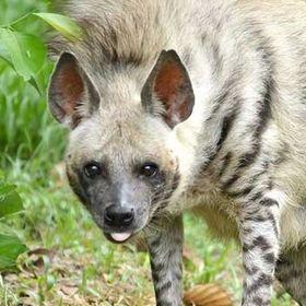 hienowata