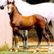 Redbud Ranch   Connemara Sport Horses and Ponies