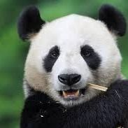 chengdu panda tour package travel guide