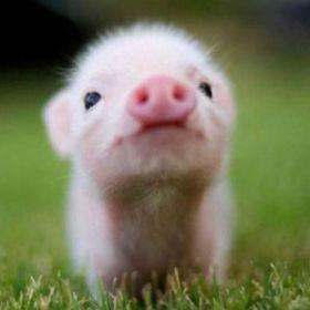 PIGS RULE 101