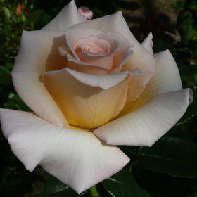 Dickson Roses