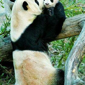 A panda lover