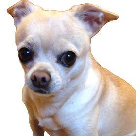 All My Chihuahuas