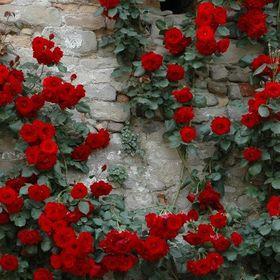 Rose Hawatt