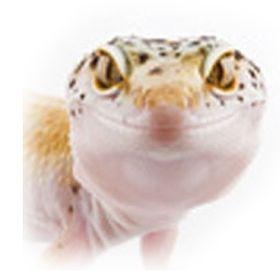 Leopard geckos 101