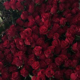 Rose_in_bloom