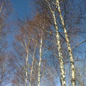 Birch Life