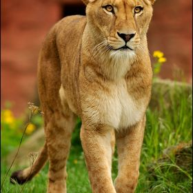 Lionpaw5