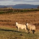Cambrian Mountains Wool