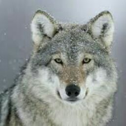 TheNavyBlue Wolf