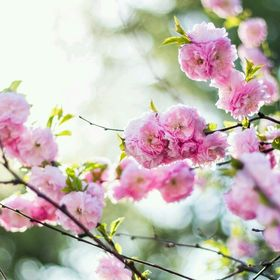 jasmina flora