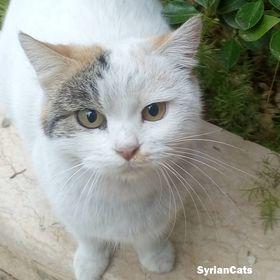 Syrian Cats