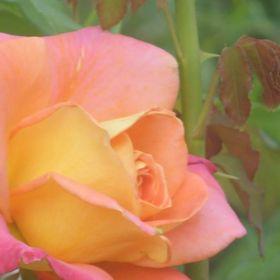 Rose Wanderer