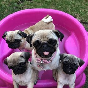 Dailypugs Home
