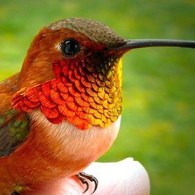 hummingbird 235