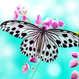 Papillon 69