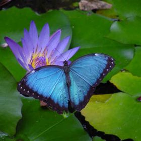 LotusFlower ButterflyGirl