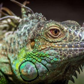 iguana56