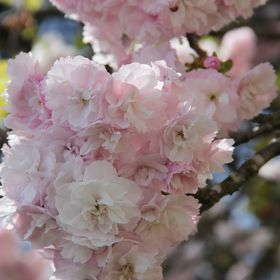 Miss Cherry blossom