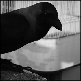 The Corvid Review
