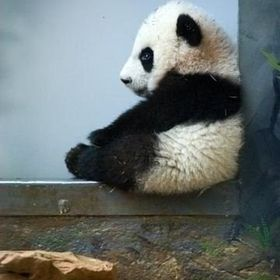 Panda Manenova